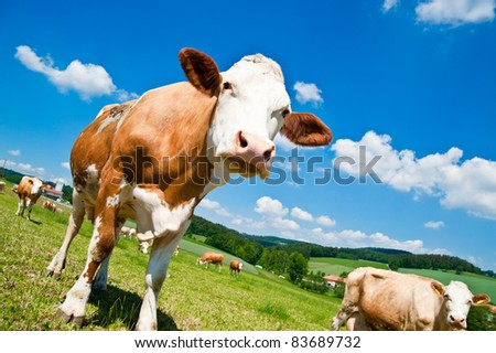 Brown Cow in Austrian Landscape