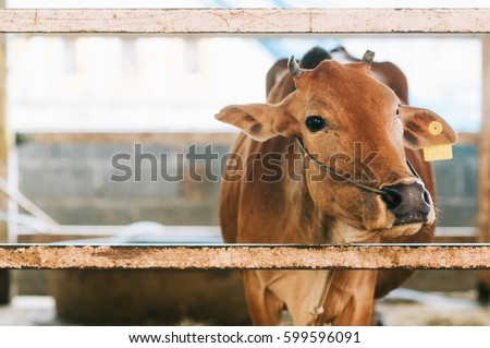 Brown cow in cowshed trough in barn stall at a cattle in agriculture livestock farm or ranch, Cow's head behind a wooden fence in the paddock, Selective focus