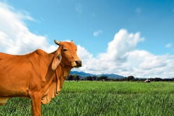 Brown cow in the green pastures on a sunny spring day with blue skies in the cloud's mountains background with copy space