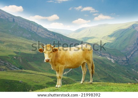 Brown cow in the mountains during summer