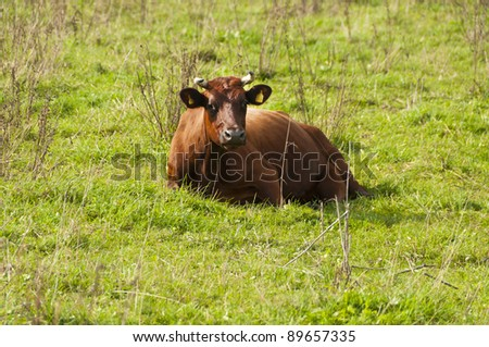 Brown cow laying on the field
