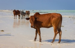 Brown cow looking at camera with herd of cows on background. Herd of cows and bulls walking on tropical beach. Colorful cows on Zanzibar coast during low tide. Cows on Indian Ocean background.