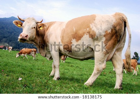Brown cow on a field in Austria