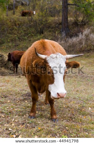 Brown cow on a pasture in the autumn