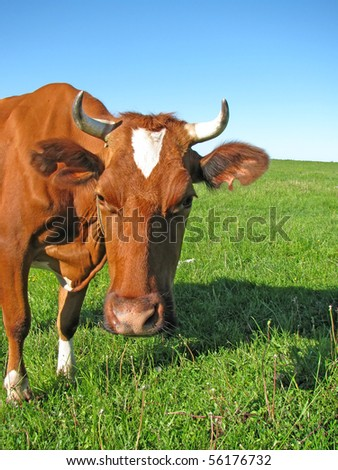Brown cow stares at the camera