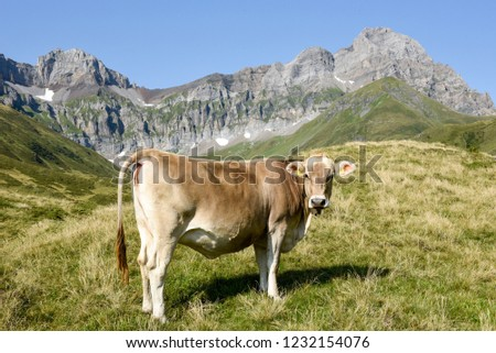 Brown cow that graze at Furenalp over Engelberg on the Swiss alps