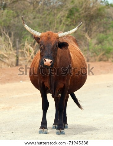 Brown cow walking along a dirt road in Africa sunshine