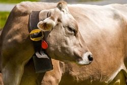 Brown cow with a cowbell and a GPS transmitter in a field in Switzerland