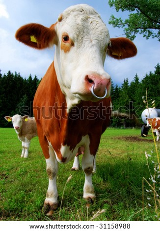 Brown cow with calf on a meadow