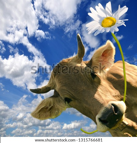 Brown cow with flower in muzzle. Beautiful flower meadows of central Switzerland and blue sky in the background. Greeting card for Valentine's Day, Woman's Day, Mother's Day, or other congratulation. #1315766681