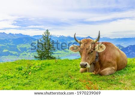 Brown cow with horns in alpine meadow along Rigi-Scheidegg railway trail looking at Swiss Alps, Schwyz basin, Lake Lucerne. Unterstetten village in Canton of Lucerne, Central Switzerland. Stock fotó ©