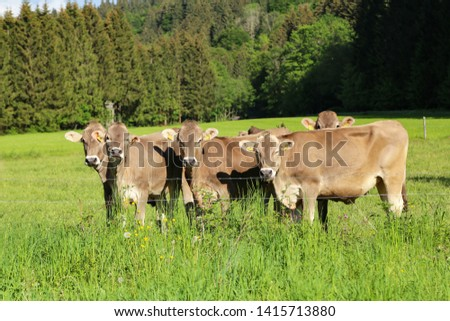Brown cows in pastures in the foothills of the Alps #1415713880