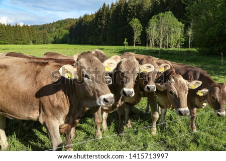 Brown cows in pastures in the foothills of the Alps #1415713997
