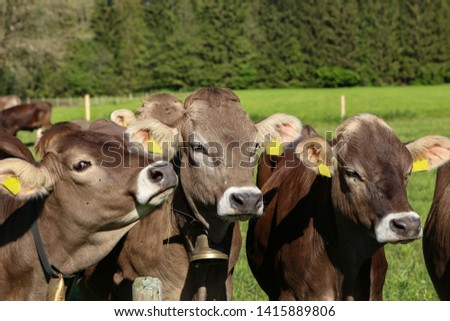Brown cows in pastures in the foothills of the Alps #1415889806