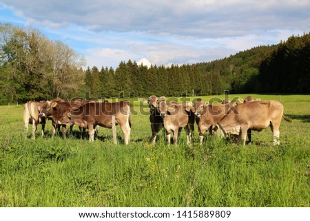 Brown cows in pastures in the foothills of the Alps #1415889809