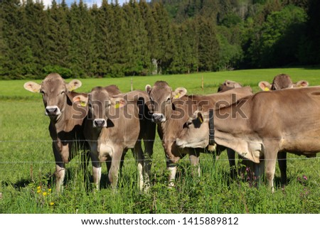 Brown cows in pastures in the foothills of the Alps #1415889812