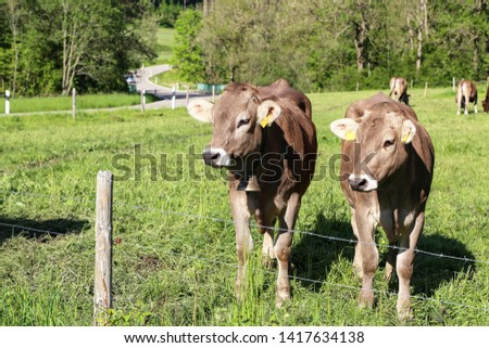 Brown cows in pastures in the foothills of the Alps #1417634138