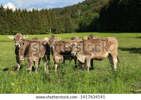 Brown cows in pastures in the foothills of the Alps #1417634141