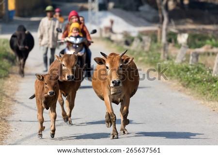Brown cows running in countryside street with motorbike behind, Mai chau, Vietnam