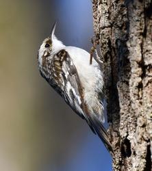 Brown creeper, AKA American treecreeper (Certhia americana)