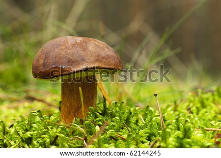 Brown cup mushroom in green moss.