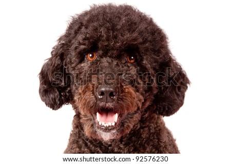 brown curly fur dog