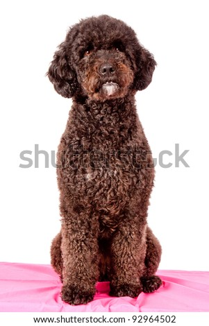 brown curly fur dog