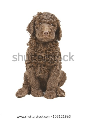 brown curly haired dog sitting and looking at camera stock