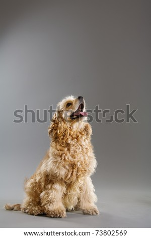 Brown curly young spaniel on grey background