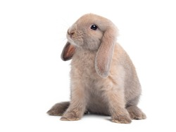 Brown cute baby holland lop rabbit sitting isolated on white background. Lovely action of young rabbit.