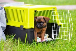 Brown cute Brussels Griffon puppy sitting in a plastic dog carrier outdoors. Safe transport of dogs, travel with pets. Smousje, Belgian Griffon, Petit Brabancon. Breeding propellant dogs.