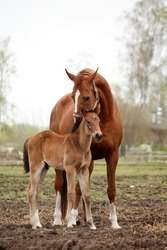 Brown cute foal portrait with his mother at the pasture