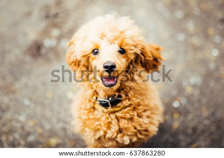 Brown cute poodle puppy sitting on the ground and looking up. Close-up of brown funny poodle head. #637863280