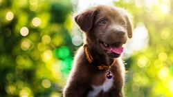 Brown cute smile Labrador Retriever puppy with spring foliage bokeh and sunset light abstract. Head shot of adorable dog with green leaf background and space for text.