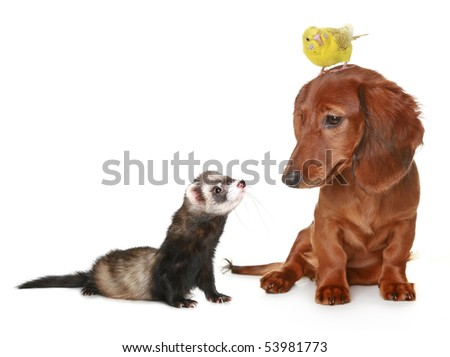 Brown dachshund, budgerigar and ferret on a white background