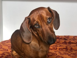 brown dachshund funny dog portrait looking guilty