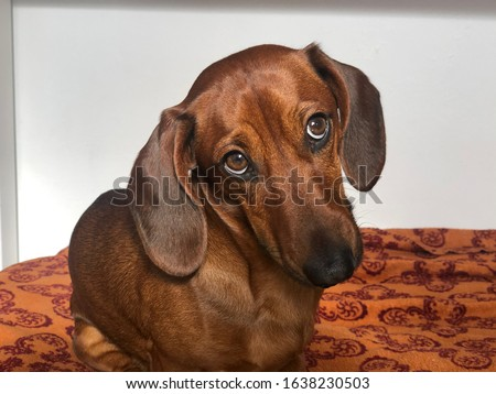 brown dachshund funny dog portrait looking guilty Stock photo ©