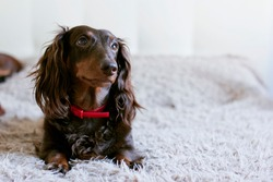 Brown dachshund lying in fluffy bed. Dog Portrait at home.