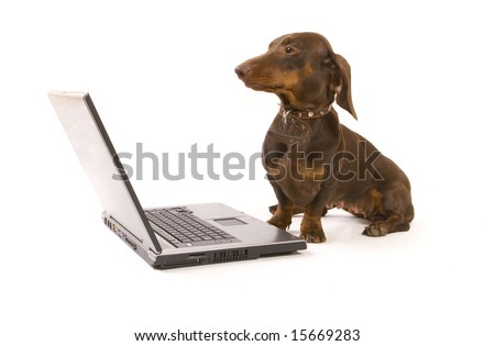 Brown dachshund working on laptop on white ground