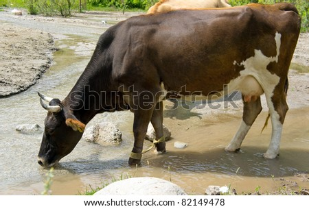 Brown Dairy Cow Drinking From