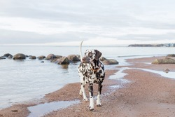 brown dalmatian puppy on the beach.Happy Dalmatian dog playing on the beach.The Dalmatian is a breed of large-sized dog walking on beach ,water splashes. cloudy weather