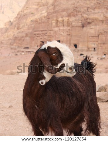 brown damascus goat near ruins, city Petra, Jordan