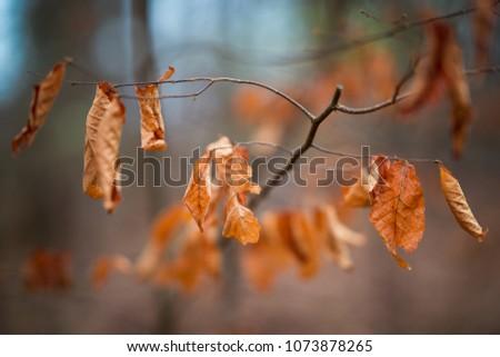 Brown dead autumn leaves on tree