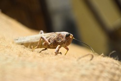 brown dead locusts broken legs, grasshopper macro insect bug close up, wild animal migrating locust body invertebrate wallpaper background zoology biology
