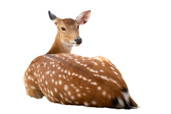 Brown deer sitting isolated on white background.