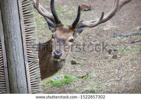 brown deer with big antlers looks around the corner #1522857302