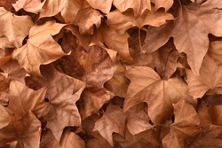 Brown detailed autumnal background of group of dried platanus leaves. Top view