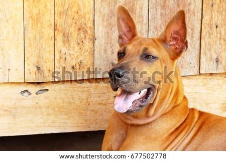 Brown dog cute is staring on floor #677502778