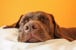 Brown dog dreaming