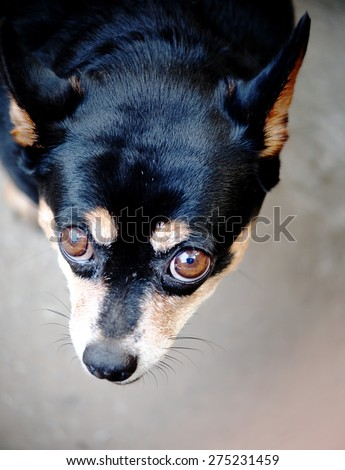 brown dog eyes with smiling face close up of a cute black fat lovely miniature pinscher dog resting outdoor on a country house\'s concrete garage floor portraits view